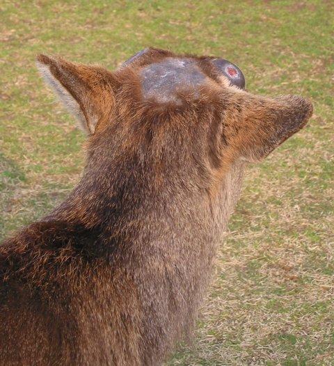 Bald deer