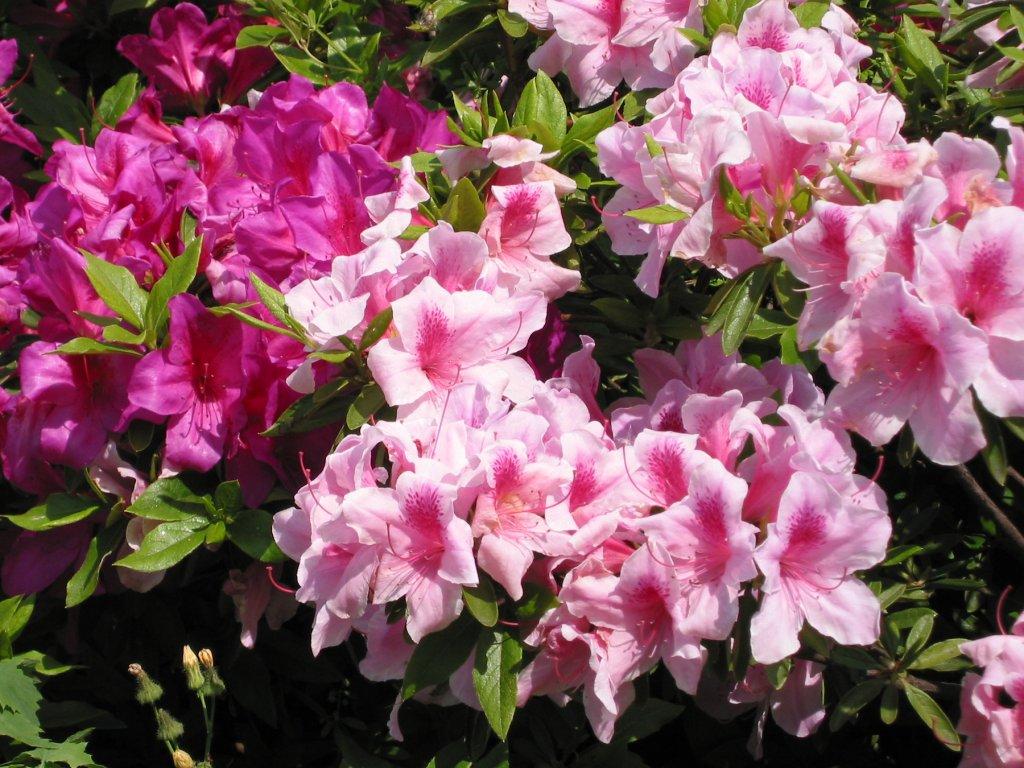 Hibiscus in Chijima Park