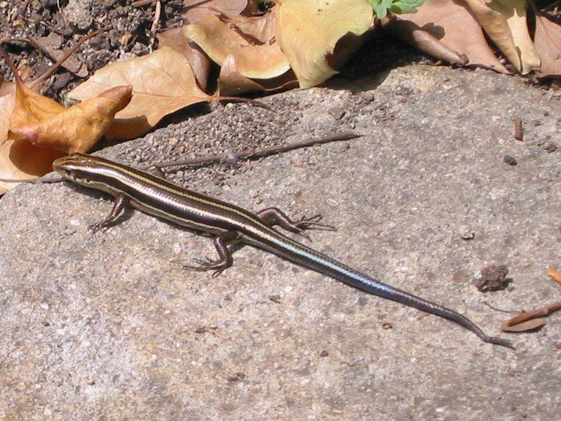 Lizard in Chijima Park