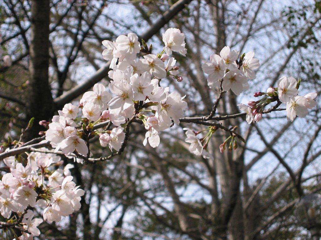 Sakura at Ikeda